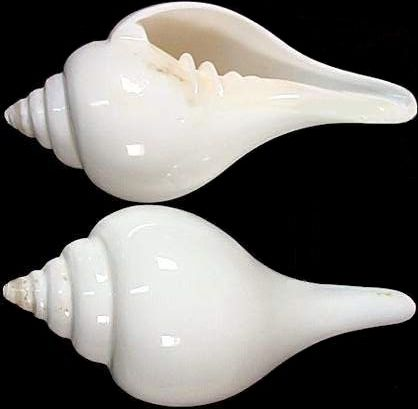 Shankha (Conch) Medicinal Properties & Usage in Ayurveda