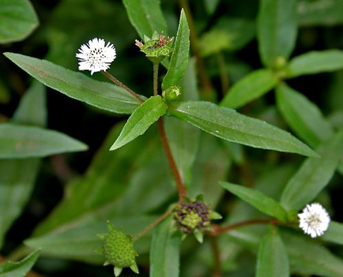 Eclipta Alba (Bhringraj) benefits and usages