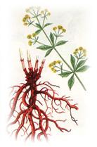 Blood Purification and increasing haemoglobin using Manjishta