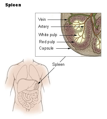 Natural cure for Spleen problems