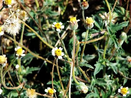 Tridax procumbens (Daisy) to convert grey hair into black naturally