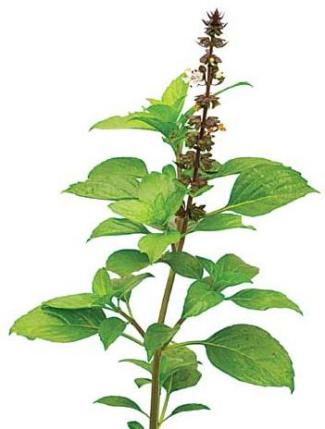 Tulasi (Holy Basil) Health and Yoga Benefits