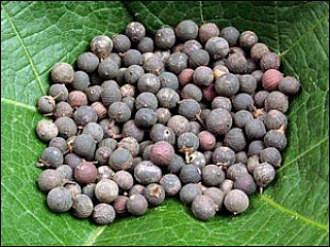 Embelia Ribes (Vaividang) Home Made Recipes & Medicinal Usages