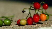 Solanum Ptycanthum or Indian Nightshade Medicinal Usage