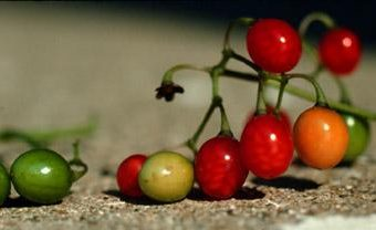 Solanum Ptycanthum or Indian Nightshade Medicinal Usage