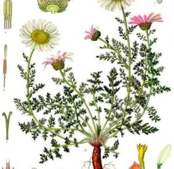 Anacyclus Pyrethrum or Pellitory Root (Akarkara) Medicinal Usages & Precautions
