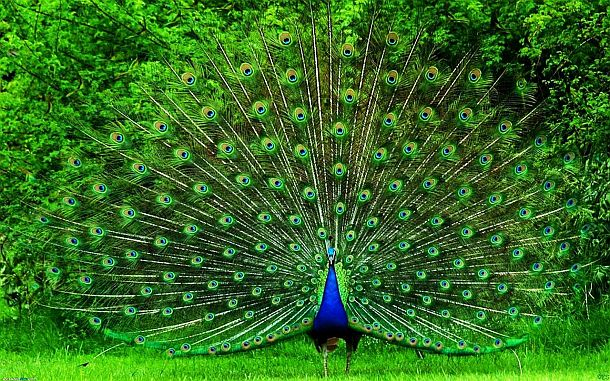 Indian Peafowl Covert (Mayura Sikha)