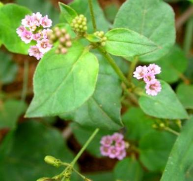 spreading hogweed boerhavia diffusa punarnava
