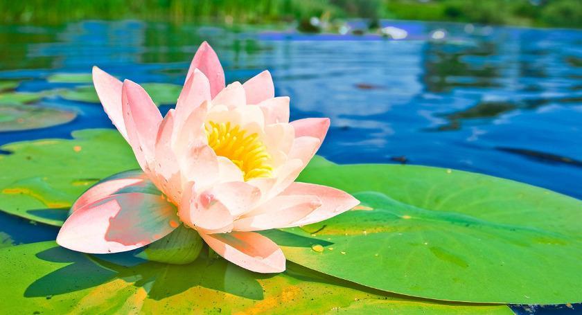 Lotus Flowers, Leaves & Seeds in Ayurveda