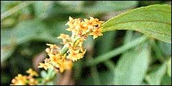 Manjista - rubia cordfolia