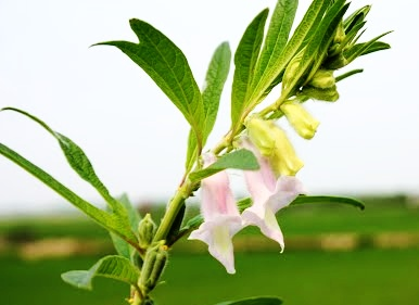 Sesame Flowers medicines