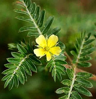 tribulus terrestris or gokshura
