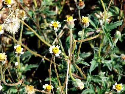Tridax procumbens or Palakaaku in ayurveda