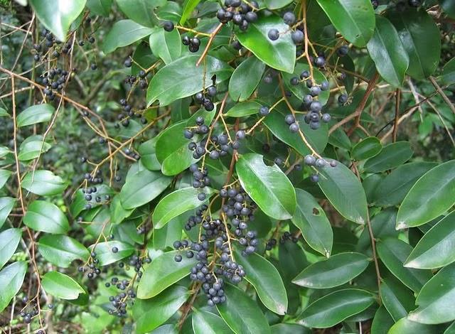 vidanga embelia ribes tree leaves